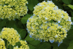 Hydrangea began coloring Royalty Free Stock Image