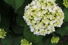 Hydrangea began coloring Royalty Free Stock Photo