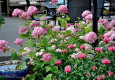Hydrangea and Bergamot. In the garden next to the deck Royalty Free Stock Images