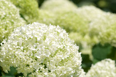 Hydrangea bianco Immagine Stock Libera da Diritti