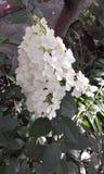 Hydrangea bianco Immagini Stock Libere da Diritti