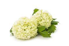 Hydrangea blanc Photos libres de droits