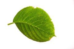 Hydrangea-Blatt auf Weiß Lizenzfreie Stockfotos