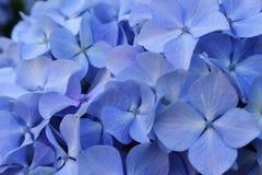 Hydrangea bleu Photo stock