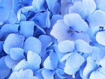 Hydrangea bleu en fleur Photos libres de droits