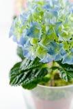 Hydrangea bleu en plan rapproché en verre de bacs Photos stock