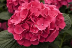 Hydrangea Bloom. Pink Hydrangea Bloom with a Soft Focus Effect royalty free stock images