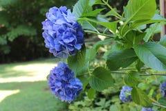 Hydrangea Blooms in the Garden Stock Images