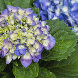 Hydrangea Blooms - Hydrangeaceae. This is a hydrangea blossom cluster getting ready to open. This is a perennial shrub, or bush that is growing in Morgan County stock photography