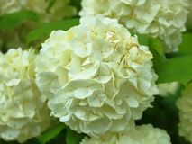 Hydrangea blooms in white close stock photo