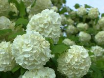 Hydrangea blooms in white color stock image