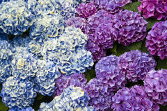 Hydrangea Blossom. Beautiful Hydrangea blossoms on a summer day Stock Image