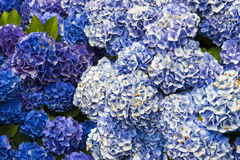 Hydrangea Blossom. Beautiful Hydrangea blossoms on a summer day Royalty Free Stock Photography
