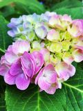 Hydrangea blossom close up Stock Photos