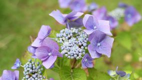 Hydrangea blossom in the garden, HD footage stock video