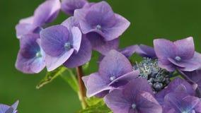 Hydrangea blossom in the garden, HD footage stock video