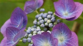 Hydrangea blossom in the garden, HD footage stock footage