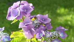 Hydrangea blossom in the garden, HD footage. Beautiful Hydrangea blossom in the garden, HD footage stock video footage
