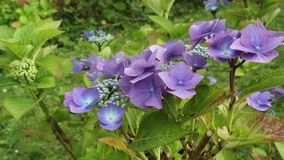 Hydrangea blossom in the garden, HD footage stock video footage