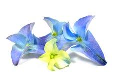 Hydrangea blossom Royalty Free Stock Image