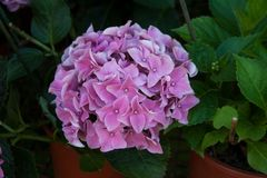 Hydrangea blossoming with light pink flowers stock photos