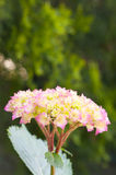 hydrangea blossoms amd leaves in gardens close up Royalty Free Stock Image