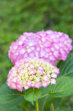 hydrangea blossoms amd leaves in gardens close up Royalty Free Stock Images