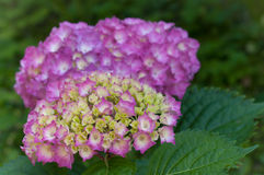 hydrangea blossoms amd leaves in gardens close up Royalty Free Stock Photos