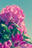 Hydrangea blossoms big. Spring colors, the beginning of summer. Stock Images