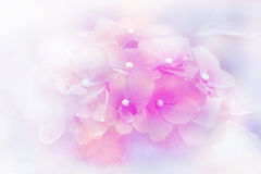 Hydrangea blossoms in blur background Stock Photography