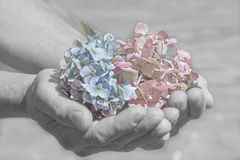 Hydrangea blossoms in a mans hand, farewell scene. Soft color key royalty free stock image