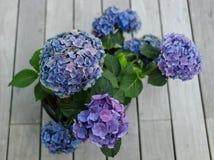 Hydrangea blu Immagine Stock Libera da Diritti