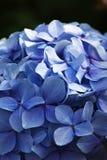 Hydrangea blu Fotografia Stock Libera da Diritti
