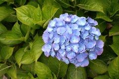 Hydrangea blu Fotografia Stock