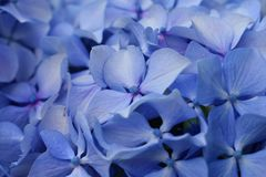 Hydrangea blu Fotografie Stock