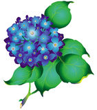 Hydrangea_blue Stock Images