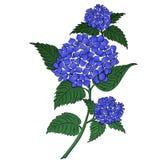 Hydrangea blue flower. Blue on white cartoon style, vector illustration vector illustration