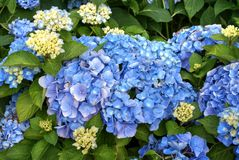 Hydrangea blue flowers with green leaves Stock Photo