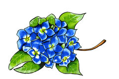 Hydrangea in blue. Illustration of blue Hydrangea isolated over white background royalty free illustration