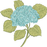 Hydrangea. Vector illustration of a blue hydrangea isolated on white background Royalty Free Stock Photography