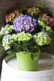 Hydrangea. Blue Hydrangea in pot . close detail Stock Photos