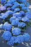Hydrangea blue in pots Stock Photo