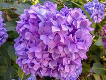 Hydrangea is blue and purple. Flowers are blooming in spring and summer in town street garden. stock image
