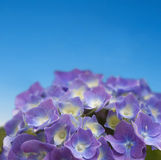 Hydrangea on blue sky. Close up of purple hydrangea on blue sky - shallow dept of field Stock Photography