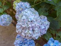 Hydrangea blue and white hydrangeas in the outside summer royalty free stock photography