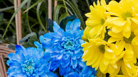 Hydrangea blue and yellow. Hydrangea blue and  a yellow Stock Image