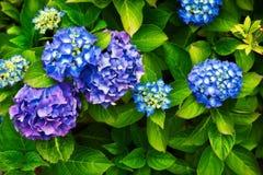 Hydrangea Blues. Close up of blue and purple hydrangea flowers stock photos