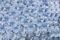 Hydrangea. Blume. Lizenzfreies Stockbild