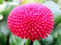 hydrangea Blumen Lizenzfreie Stockfotos