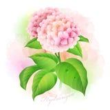 Hydrangea. Botanical Vector illustration Royalty Free Stock Image